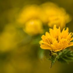 Kerria japonica 'Pleniflora' - ranonkelstruik