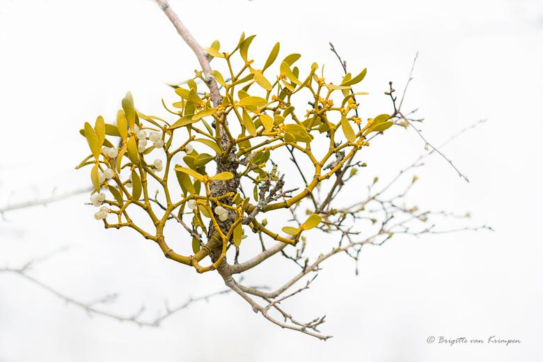 Mistletoe - Weer eentje in mijn serie Fresh Green<br /> <br /> De maretak (Viscum album) is een groenblijvende plant uit de sandelhoutfamilie (Santa
