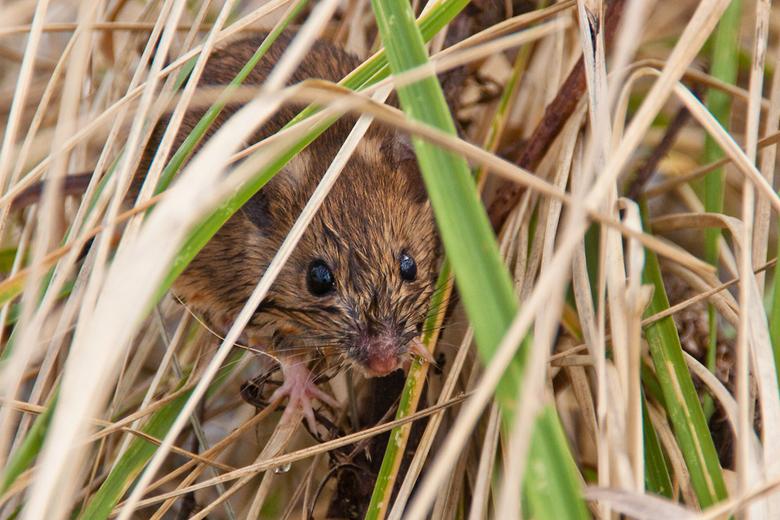 Bosmuis +hoogwater - Toen het water nog de millingerwaard in stroomde (zie vorige foto's) zochten veel muisjes een anders stekje op. Zo ook dit m