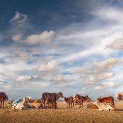 Koeien strand in Sri Lanka