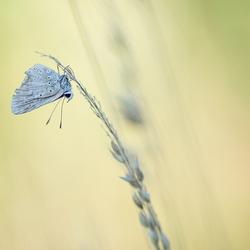 Acariusvlinder met vlieguren