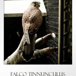 [Artis] Falco tinnunculus