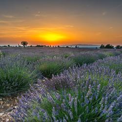 Lavendelveld bij zonsondergang