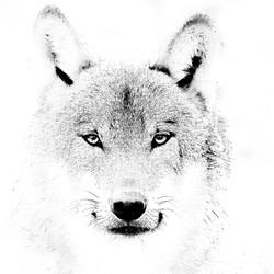 Wolf portretje