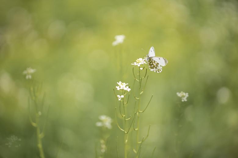See you next year.... - De lentebode bij uitstek onder de vlinders gaat ons al verlaten. Het oranjetipje kent helaas slechts 1 generatie en heeft een