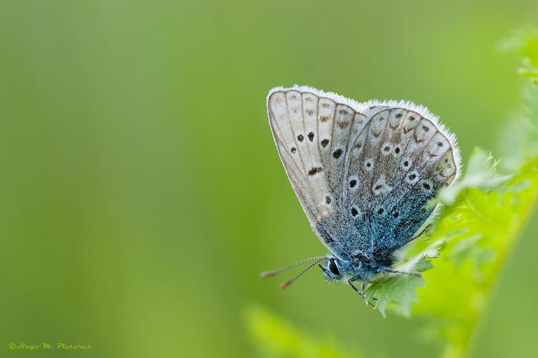 Icarusblauwtje - Dit icarusblauwtje mannetje zat lekker ontspannen op een blaadje en trok zocht niets van de fotograaf aan.<br /> <br /> Als je goed