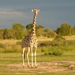 Giraffe - Murchison falls NP Uganda