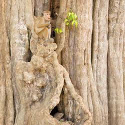Ceylonkroonaap in een mooie boom