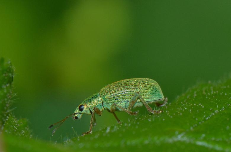Groene Bladsnuitkever -