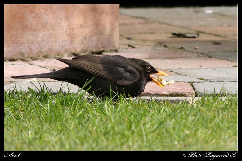 Het moment - Mijn eerste vogel met de canon 40D, ik vond het moment wel mooi toen hij het brood wou binnenspelen, hier komt de snelheid van de 40D wel