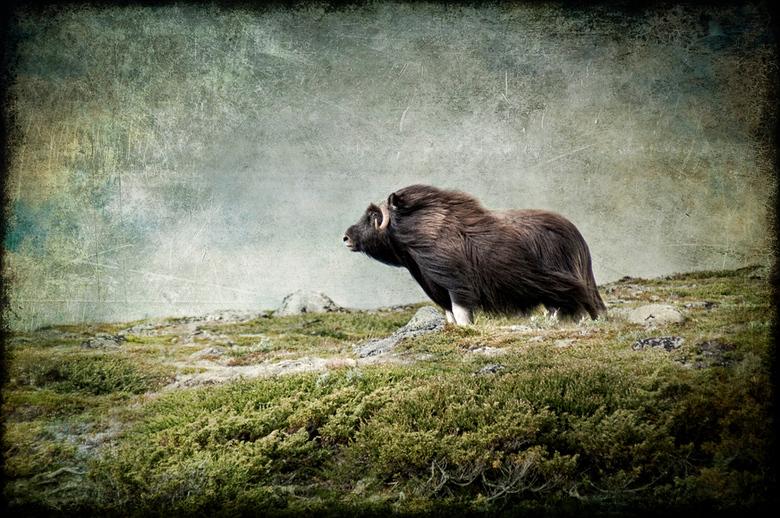 The Emperor Of Dovrefjell - De Dovrefjell in Noorwegen is het enige gebied in Europa waar muskusossen leven. De muskusos is bestand tegen extreem koud
