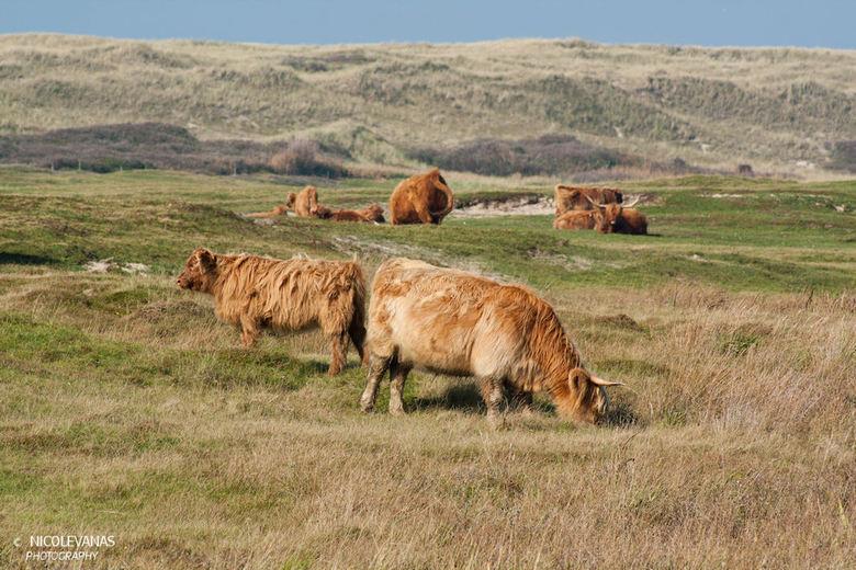 Texel Schotse hooglanders in natuurgebied het grote vlak. - In natuurgebied het grote vlak nabij Den Hoorn.<br /> In dit natuurgebied zijn schotse ho