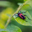 Boktor (purpuricenis budensis)