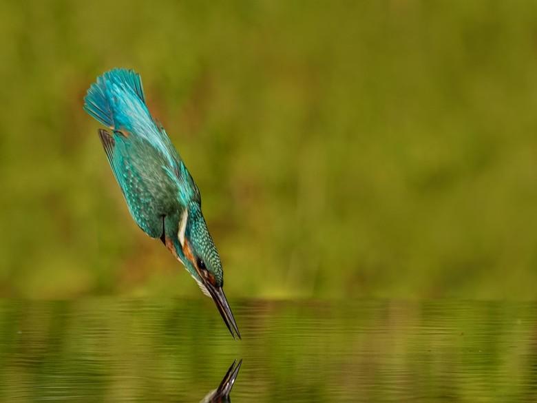 De duik - Bij een razendsnelle duik vouwt het ijsvogeltje de vleugels langs het lichaam en heeft van te voren al precies de richting en afstand bepaal