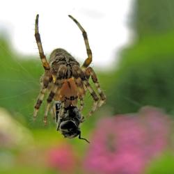Een oud spinnetje