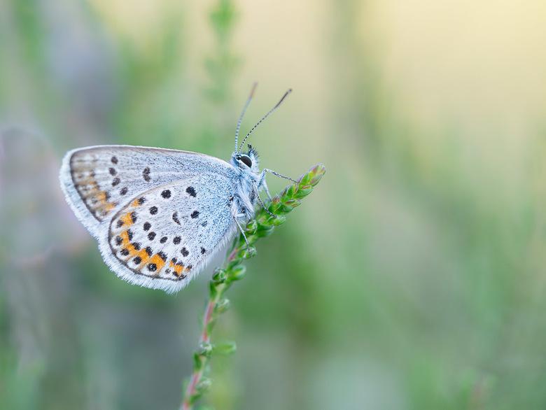 Heideblauwtje - Heideblauwtje op Dopheide.
