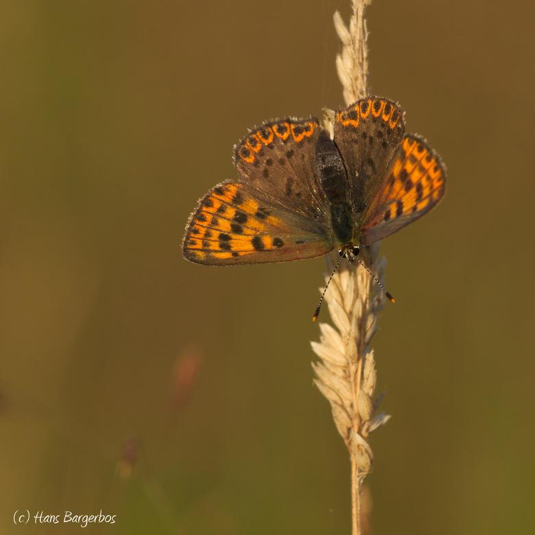 Kleurenpracht van de bruine vuurvlinder - Met de vleugels geopend zie je de kleurenpracht van de bruine vuurvlinder pas goed.