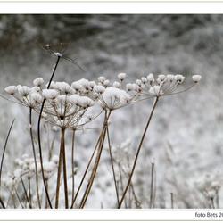 sneeuw bloemen