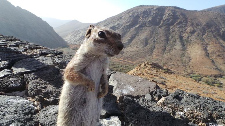 Brutale rakker - Op Fuerteventura, net even buiten de oude hoofdstad Betancuria, ligt een uitzichtspunt waar zich tientallen van deze rakkers hebben v