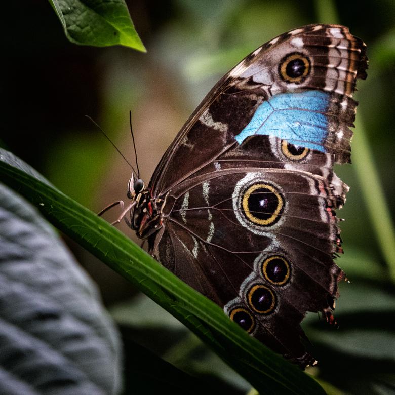 Kapotte vleugel ... - De blauwe kleur van de blauwe morpho zie je normaal alleen als hij zijn vleugels openslaat of rondvliegt.<br /> Deze vlinder he