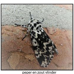 Peper en zout vlinder