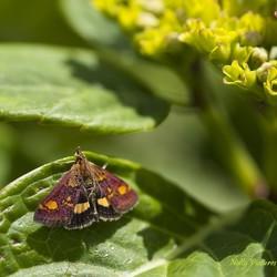 Fluweel paars muntmotje in de tuin