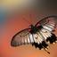 Papilio memnon vlinder
