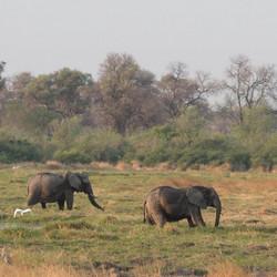 groep of olifanten in chobe