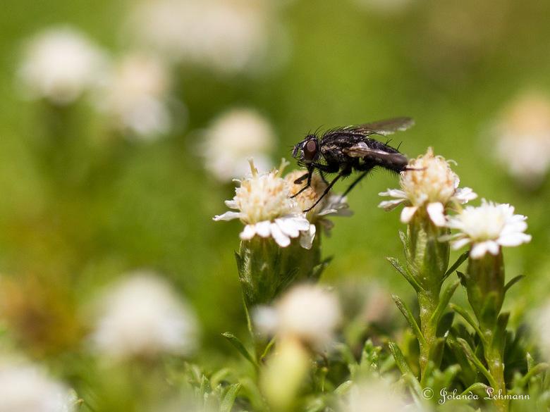 Een gewone vlieg - Zelfs een gewone vlieg kan heel mooi zijn in de macrowereld