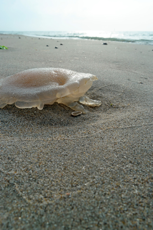 Kwallig strandweertje - Veel soorten kwallen aangespoeld op het strand van Burgh Haamstede. Dit was er één van.