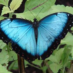 Morpho vlinder in Artis