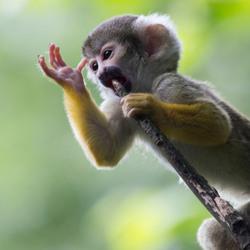 Zingend aapje