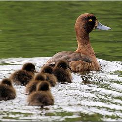 Moeder Kuifeend met haar 6 Jongen