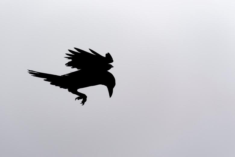 Raaf - Een raaf die tegen de wolken naar beneden toe afdaalde. Door het felle tegenlicht leverde dit een bijzonder silhouette op.