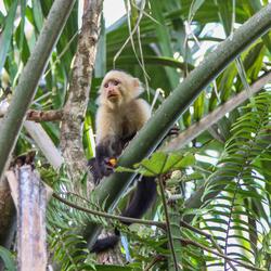Kapucijn aapje