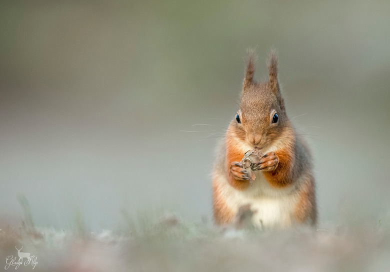Concentratie...  - Meestal heb je niet meer dan 1 seconde om een foto te maken, maar deze eekhoorn was zo geconcentreerd bezig met het openen van zijn