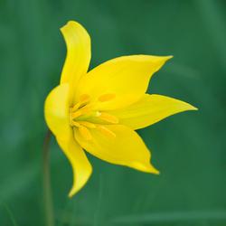 Wilde bostulp in bloei