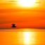 Wulp at sunset