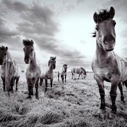 Paarden op de Maas oever