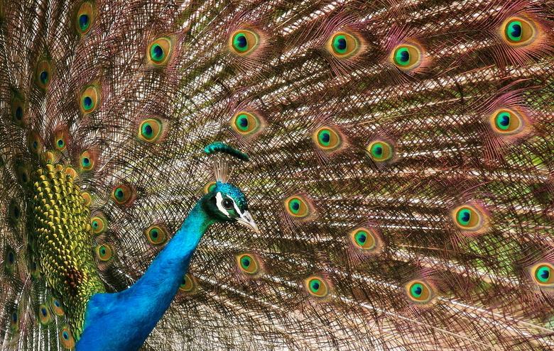 Pauw - Het blijft een wonderlijke vogel.