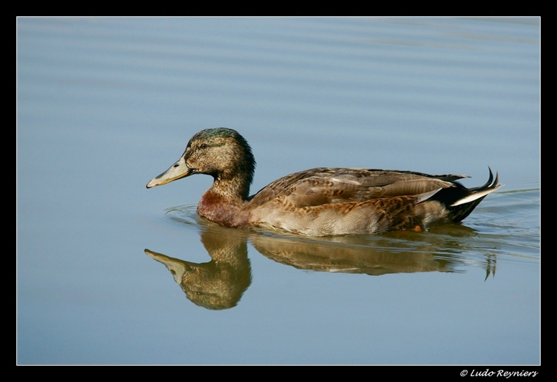 spiegelbeeld - De eend dobberde rustig rond op de trichelbroekvijver. gekiekt vanuit de vogelkijkhut. Het is een nogal statisch beeld geworden maar ik