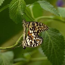 vlinders 01