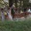 curious deer?