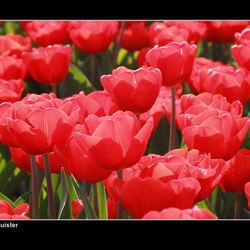 Tulp in de zon