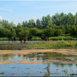 Paarden op eiland