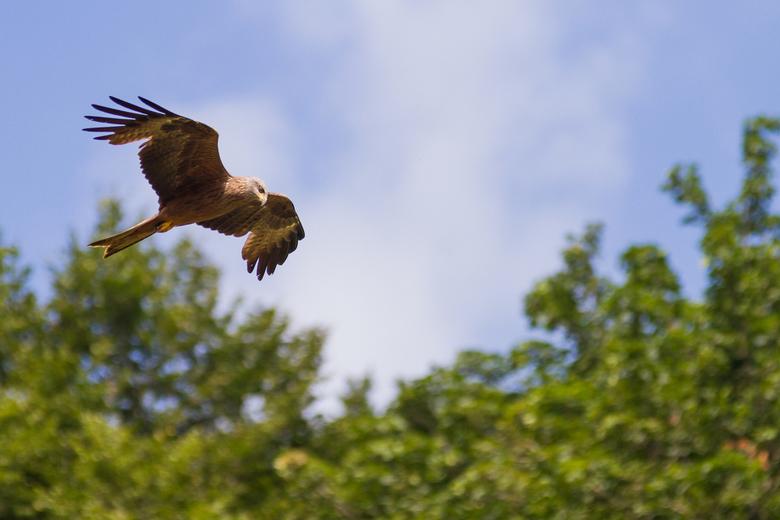 """Volle vlucht - Ik ben niet zo&#039;n vogelkenner maar ik vermoed dat dit een wouw is. Ik laat me graag verbeteren <img  src=""""/images/smileys/smile.png"""