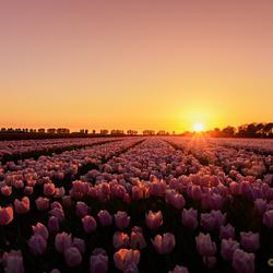 Tulpen uit Gelderland
