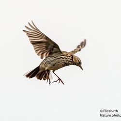 Graspieper in een territorale vlucht