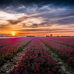 Tulpenvelden tijdens zonsondergang
