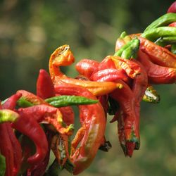 Gedroogde pepers in een Turks dorpje